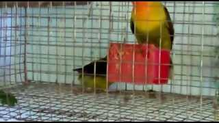 olive mask african lovebirds