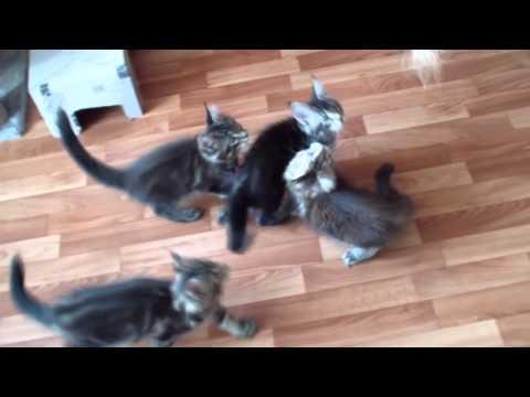Котята мейн-кун 2 месяца