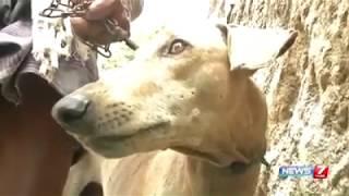 **Chippiparai, Kanni, Kombai** Indian native dog breeds in the verge of extinction
