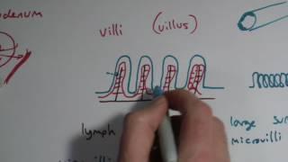AQA GCSE Biology Chapter 3 - Small Intestine And Villi