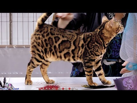 CFA International Cat Show 2018 - Bengal kitten class judging
