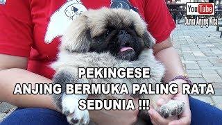 Anjing Bermuka Paling Rata Sedunia - Pekingese