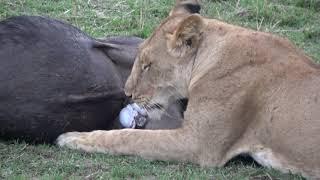 Lions Making a Kill   9/3/2017   Masai Mara