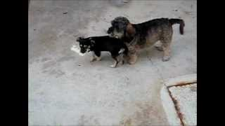Dog Fights: Yorkshire Terrier (fifi) Vs Pico (black Chihuahua)!!!