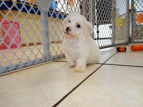 Bichon Frise, Puppies, Dogs, For Sale, In Jacksonville, Florida, FL, 19Breeders, Orlando, Cape Coral