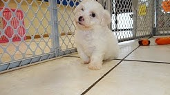 Bichon Frise, Puppies, Dogs, For Sale, In Jacksonville, Florida, FL, 19Breeders, Orlando, Cape Coral