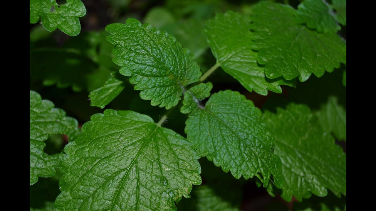 Herbs for enlargement - 2 3