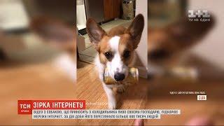 Відео з собакою, яка приносить з холодильника пиво своєму господарю, підкорює Мережу
