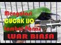 Mengatasi Cucak Ijo Lambat Panas Di Gantangan  Mp3 - Mp4 Download