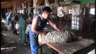Стрижка овец.Скоростные стригали Калмыкии.VOB
