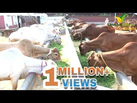 Popular Sahiwal Cow Dairy Farm in Punjab India  (HINDI)