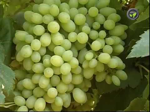 Thompson seedless and other seedless green grape varieties youtube - Seedless grape cultivars ...