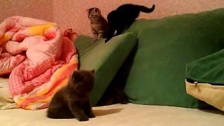 Шотландские котята резвятся