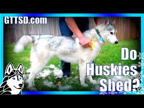 How much do Huskies SHED? | FURminator Siberian Husky