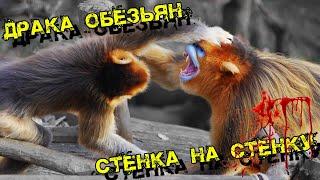 Массовая драка обезьян или тактика боя у животных