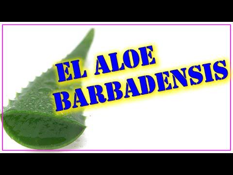 Aloe Barbadensis  - Propiedades del Aloe Barbadensis