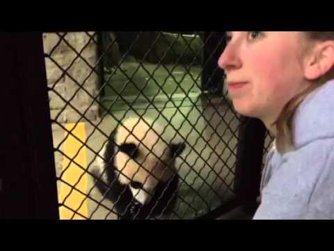 Smithsonian Natl Zoo Panda Cub Bei Bei training