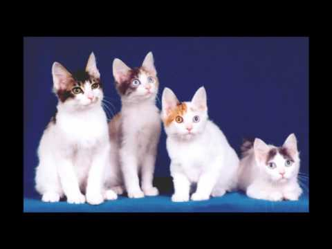 Japanese Bobtail Cat and Kittens | History of the Japanese Bobtail Cat Breed