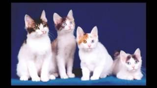 Japanese Bobtail Cat and Kittens | History of the Japanese Bobtail Cat Breed