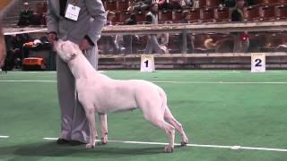 "dogoargentino, mono show ""Derzhava 2010"", junior-females"
