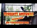 Kacer Juara Tembakan Cililin Dan Ngeroll Cendet Macan  Mp3 - Mp4 Download