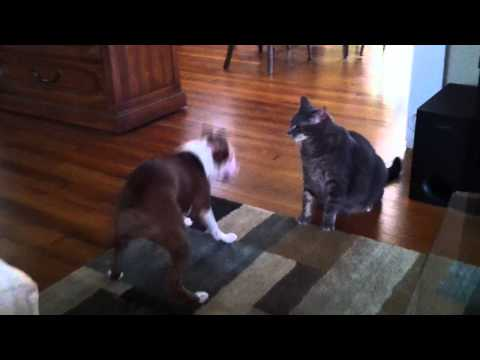 Cat body slams Boston Terrier