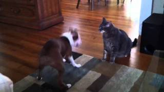 Cat Body Slams Boston Terrier