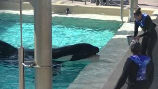 SeaWorld Trainers back in the water with the whales?!?! Sept 8 2014 Part 2
