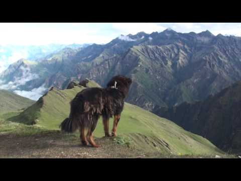 The Himalayan Dog on the top Mountain in Nepal