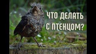 Что делать если нашел птенца? | Почему птенца нельзя брать?