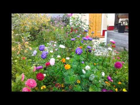 Прекрасные цветы астры в саду, дворе, на даче. фото