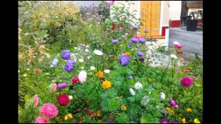 Прекрасные цветы астры в саду, дворе, на даче. фото(Прекрасные цветы астры будут радовать вас с мая и до поздней осени. Ароматные, радужные с веселыми оттенкам..., 2014-09-29T18:05:24.000Z)