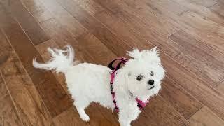 Maltese dog STAR loves to go outside