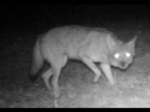 Game camera scare coyote, opossum drags & young in pouch ...