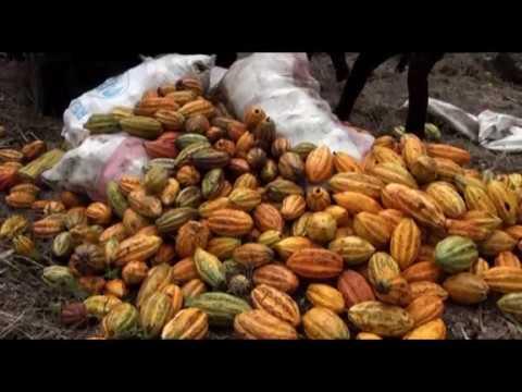 Qualité des fèves de cacao