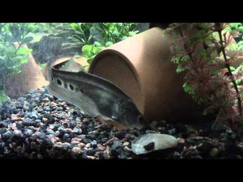 Clown knife fish feeding video doovi for Aba aba knife fish