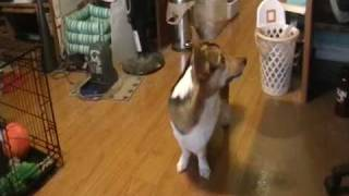 Buster The Pembroke Welsh Corgi And His Tricks!