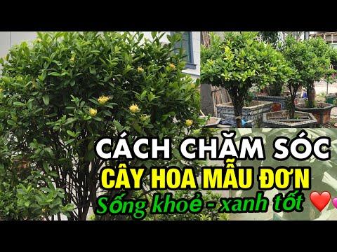 cách chăm sóc cây hoa mẫu đơn -Trung kiên garden, xã Xuân Quan, Văn Giang, Hưng yên 0977999046