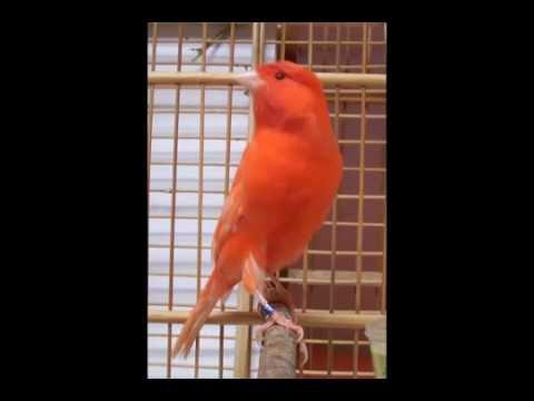 Download Lagu Suara Burung Kenari Merah Istimewa Banget