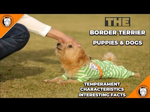 Border Terrier Puppies: Temperament, Characteristics, Facts & Traits - Border Terriers Pups Info