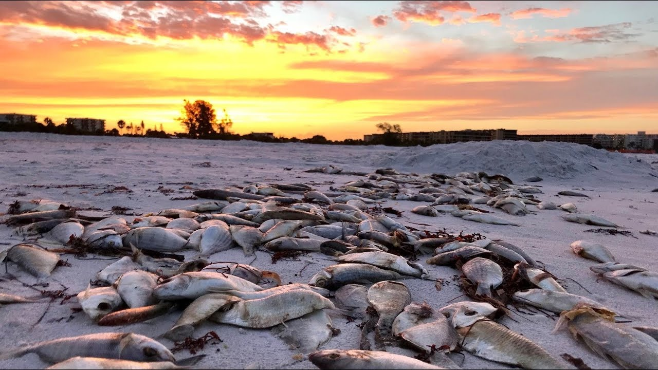 Thousands of dead fish, eel wash up on Siesta Key -- and red tide is likely  to blame