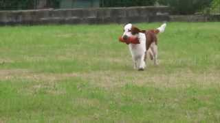 Welsh Springer Spaniel - Elfin In Retrieving Exercise