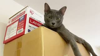 Cat laying on a shelf | Korat Cat Life