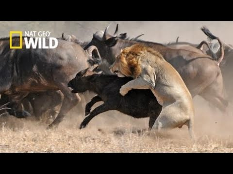 National Geographic Wild - Super Killing Lions The Noble King - BBC Documentary History  [HD 1080p]