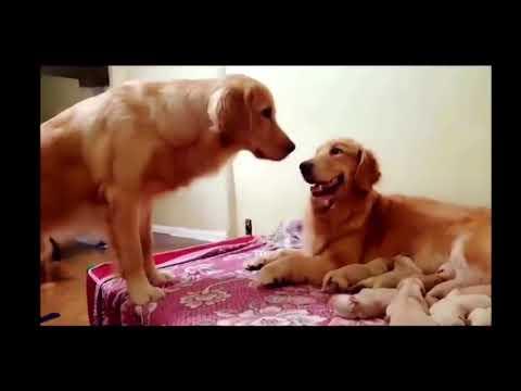 Funniest & Cutest Golden Retriever Videos - 2017