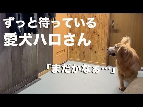 飼い主がトイレに入っている時のゴールデンレトリバー