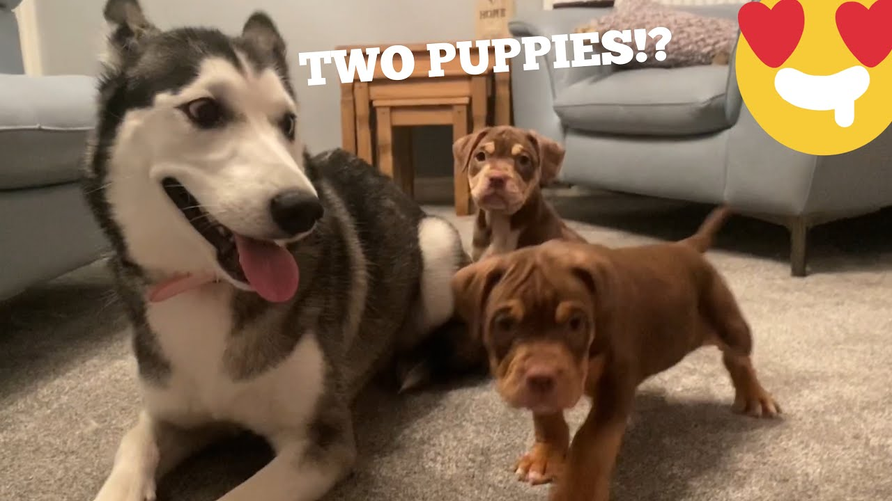 Husky Puppies Meets Two New Old English Bulldog Puppies!! [NEVER SEEN HER LIKE THIS!]