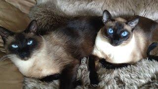 Момент из жизни сиамских котов | Siamese cats  =^..^= СИАМСКИЕ КОШКИ