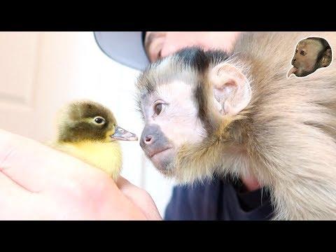 Capuchin Monkeys Meet Baby Ugly Duckling!