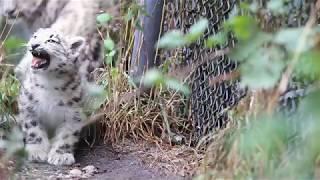 Introducing snow leopard cub Aibek